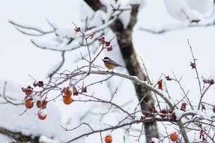 ツグミと残り柿の写真素材 [FYI02079576]