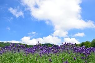 ラベンダー畑と青空の写真素材 [FYI02079577]