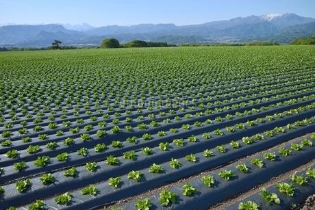 高原野菜畑と上州の山々(谷川岳・武尊山)の写真素材 [FYI02079617]