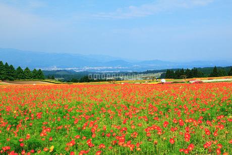 生駒高原 ポピーの花畑の写真素材 [FYI02079716]
