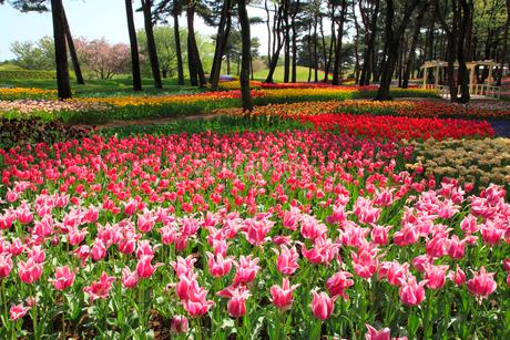チューリップの花の写真素材 [FYI02079728]