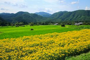 嵯峨越畑 オミナエシの畑の写真素材 [FYI02079756]