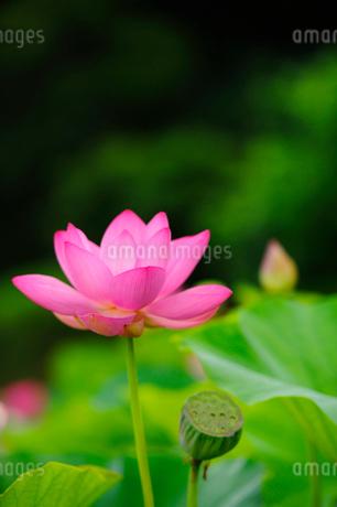 ハスの花の写真素材 [FYI02079758]