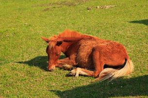 都井岬 岬馬の子供の写真素材 [FYI02079919]