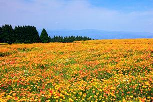 生駒高原 ポピーの花畑の写真素材 [FYI02079930]