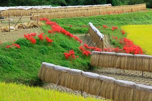 秋の棚田とヒガンバナの写真素材 [FYI02079954]