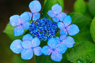ガクアジサイの花の写真素材 [FYI02079959]