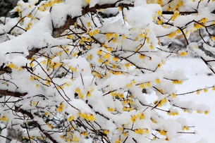 雪化粧したロウバイの花の写真素材 [FYI02079962]