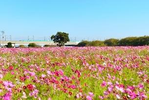コスモス畑と東北新幹線の写真素材 [FYI02080012]
