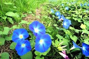 西洋アサガオの花の写真素材 [FYI02080061]