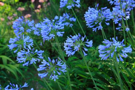 アガパンサスの花の写真素材 [FYI02080092]