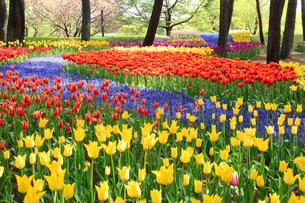 チューリップの花の写真素材 [FYI02080108]