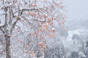 柿と里山雪景色の写真素材 [FYI02080115]