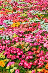 生駒高原 リビングストンデージーの花畑の写真素材 [FYI02080130]