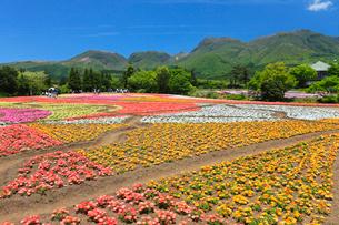 久住高原 くじゅう花公園 リビングストンデージーの写真素材 [FYI02080141]