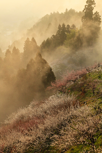 賀名生梅林と雲海の朝焼けの写真素材 [FYI02080159]