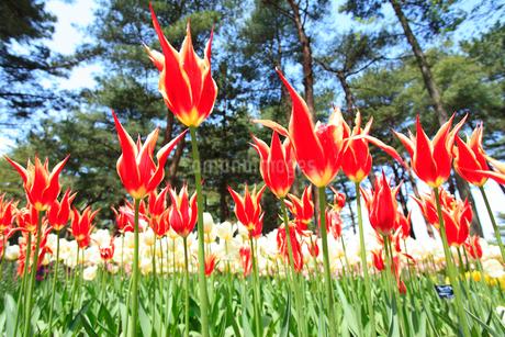 チューリップの花の写真素材 [FYI02080189]