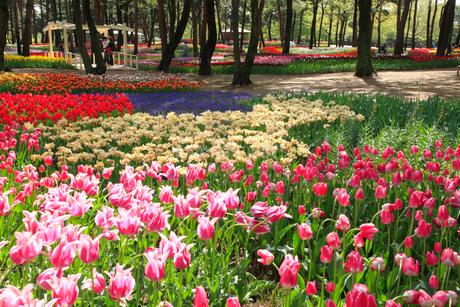チューリップの花の写真素材 [FYI02080210]