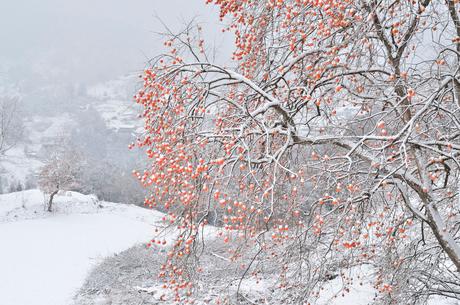 柿と雪の里山の写真素材 [FYI02080225]