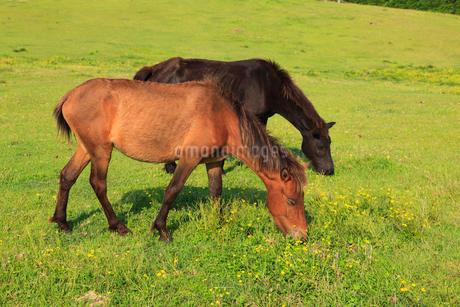 都井岬の岬馬の写真素材 [FYI02080239]