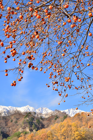 柿と白馬三山の写真素材 [FYI02080244]