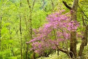 ミツバツツジの花と新緑の木々の写真素材 [FYI02080283]