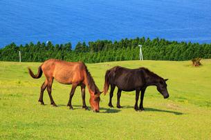 都井岬の岬馬の写真素材 [FYI02080424]