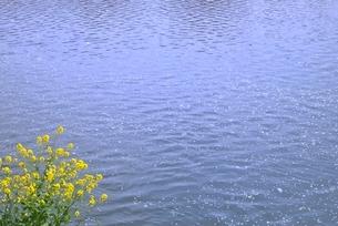 川面の散りサクラとナノハナの写真素材 [FYI02080483]