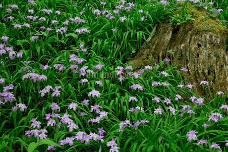 ヒメシャガの花咲く岳人の森の写真素材 [FYI02080494]