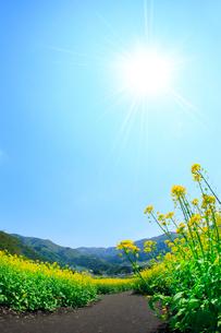 ナノハナ畑と小道 太陽の写真素材 [FYI02080505]