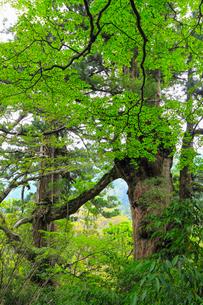 屋久島 夫婦杉の写真素材 [FYI02080533]