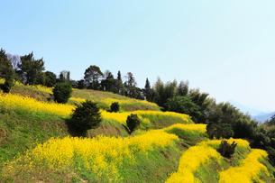 伯方島の開山公園 菜の花咲く段々畑の写真素材 [FYI02080546]