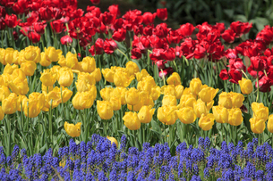 チューリップの花の写真素材 [FYI02080570]