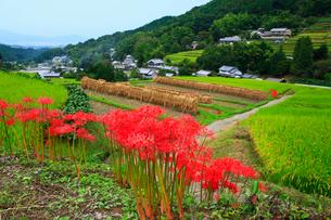 細川の棚田とヒガンバナの写真素材 [FYI02080673]