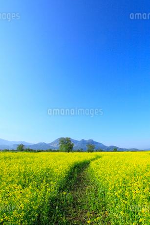 ナノハナ畑と小道 高社山の写真素材 [FYI02080677]