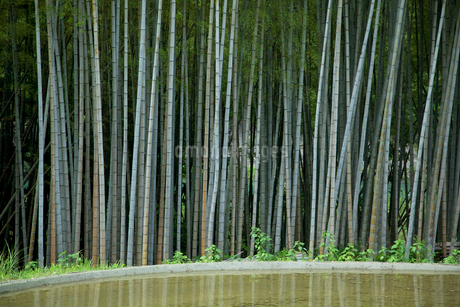 竹林と水田の写真素材 [FYI02080714]