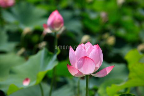 藤原宮跡 ハスの花の写真素材 [FYI02080735]