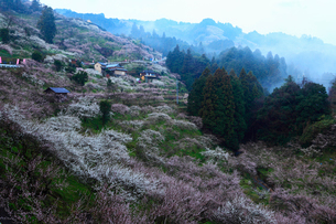 夜明け前の賀名生梅林の写真素材 [FYI02080767]
