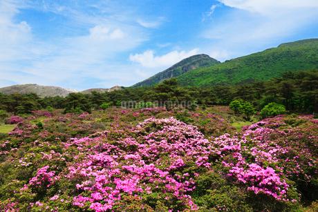 えびの高原 つつじヶ丘のミヤマキリシマと韓国岳の写真素材 [FYI02080853]