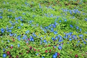 西洋アサガオの花の写真素材 [FYI02080928]