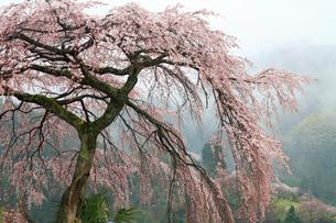栃本のシダレザクラの写真素材 [FYI02080935]