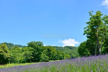 ラベンダー畑と新緑の写真素材 [FYI02080984]