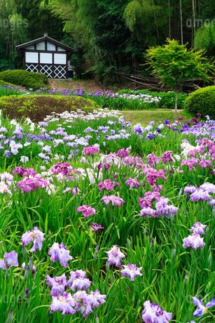 亀山公園のハナショウブの写真素材 [FYI02081043]