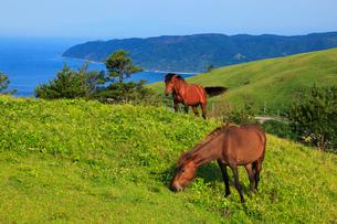 都井岬の岬馬の写真素材 [FYI02081090]