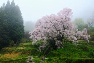 仏隆寺参道の千年桜の写真素材 [FYI02081145]
