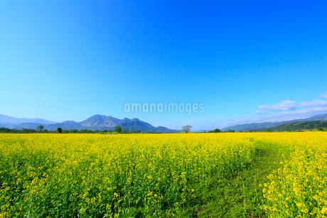 ナノハナ畑と小道 高社山の写真素材 [FYI02081199]