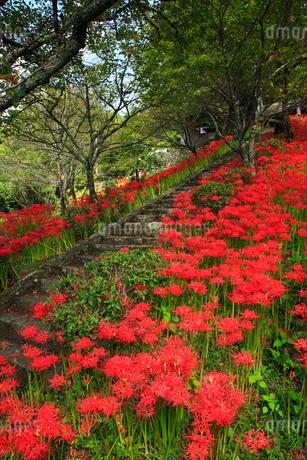 仏隆寺参道のヒガンバナの写真素材 [FYI02081234]