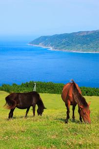 都井岬の岬馬の写真素材 [FYI02081250]