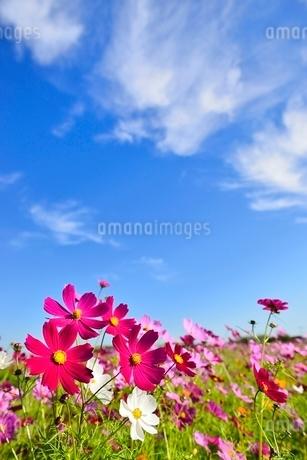 コスモスの花と青空に雲の写真素材 [FYI02081313]