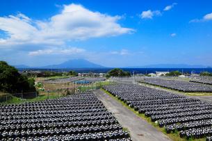 鹿児島湾・桜島と黒酢の壺畑の写真素材 [FYI02081344]